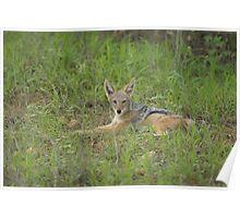 Lazy jackal cub Poster