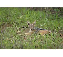 Lazy jackal cub Photographic Print