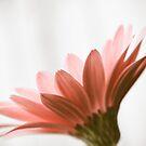 Pink Daisy by Hilary Walker
