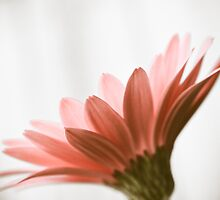 Pink Daisy by Hilary Walker