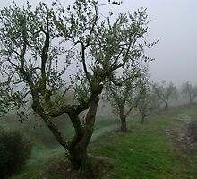Misty Morning Amongst The Olive Trees by Matt Bishop