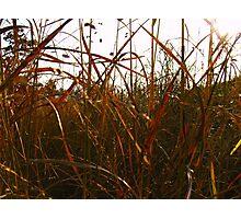Coloured Grasses Photographic Print