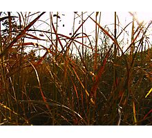 Coloured Grasses Photographic Print