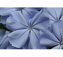Plumbago Blossoms Photographic Print