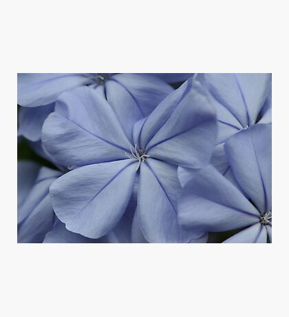 Plumbago Blossoms Photographic Print