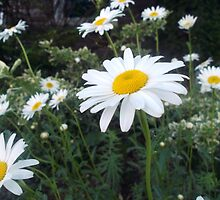 Daisies in a Vacant Lot by M Sylvia Chaume