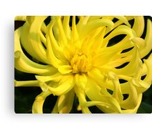 Yellow Dahlia with Curvy Petals Canvas Print
