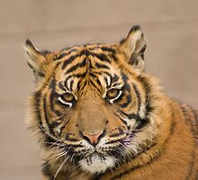 Sumatran tiger Cub by mrshutterbug