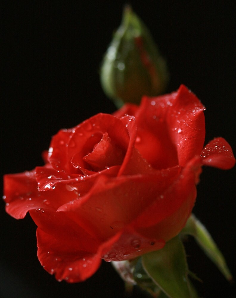 Ian Thorpe Rose by JulesVandermaat