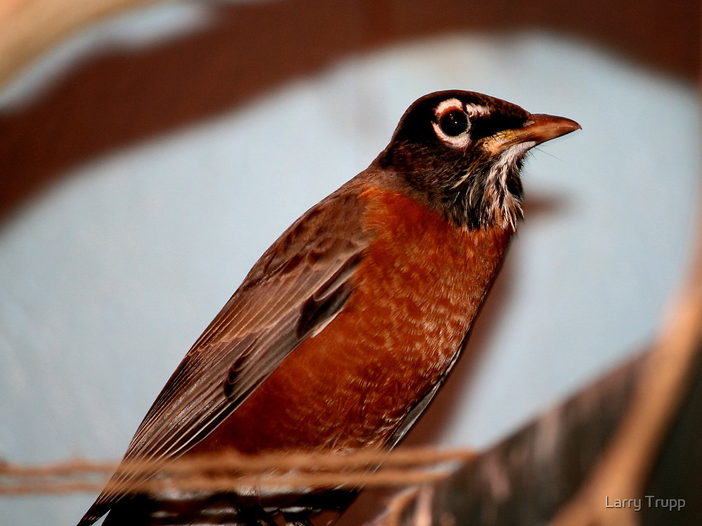 American Robin by Larry Trupp