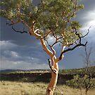 lone tree karajini national park by dmaxwell