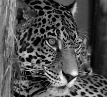 Jaguar & Baby by Sandy Keeton