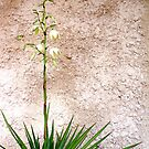 Yucca! by LouJay