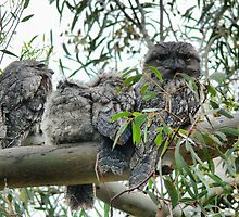 The Frogmouth Family. by Larry Lingard-Davis