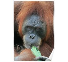 Orangutan, Sumatra, Indonesia,  Poster