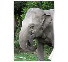 Asiantic Elephant Poster