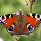 Peacock Butterfly by Hugh J Griffiths