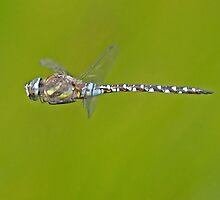 Migrant Hawker dragonfly in flight by Hugh J Griffiths