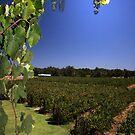 """Capel Vale Winery"" Margaret River, Western Australia by wildimagenation"