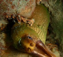 Green moray eel by WillOwyong