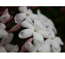 Little White Blossoms Photographic Print