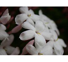 Little White Blossoms Photographic Print