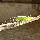 Clive the Grasshopper  by Vicki Spindler (VHS Photography)