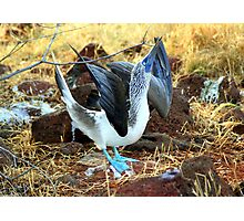 Blue-footed Booby: Mating Dance Photographic Print