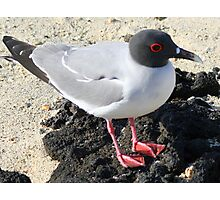 Swallow-tailed Gull Photographic Print