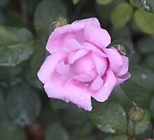 summer rose by cougarman