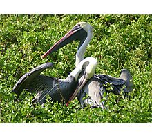 Brown Pelicans: A Romantic Moment Photographic Print