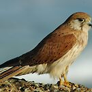 Little Kestrel - NSW by CasPhotography