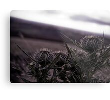 Thistles in The Peak District Metal Print