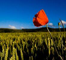 Head of a poppy in a field of corn by Ellamey