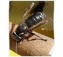 Hornet Stealing Honey Poster