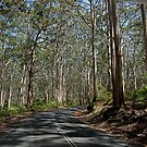 Karri Forest by Ron  Long