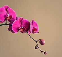 Magenta Orchids by Antaratma Images