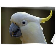 Sulphur Crested Cockatoo VII Poster