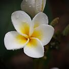 Sweet Frangipani by Keith G. Hawley
