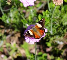 Red Admiral Butterfly by mosgol