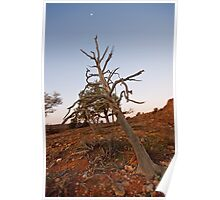 Old tree at Mutawintji Poster