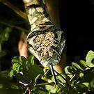 Carpet Python (Morelia spilota) by Matt Duncan