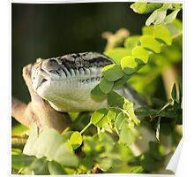 Carpet Python (Morelia spilota) Poster