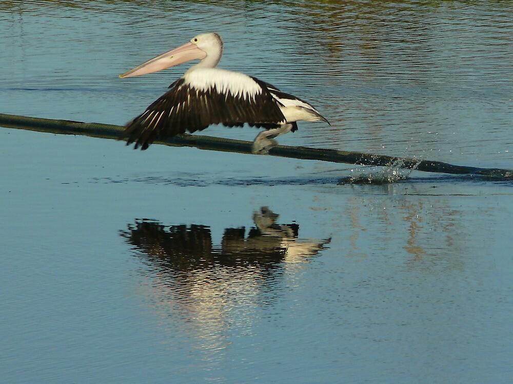 Flight of a Pelican by byronbackyard
