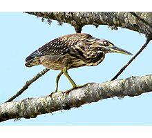 Striated Heron at Belongil Creek Photographic Print