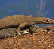 Goanna's mating at Fogg Dam, Northern Territory by Stephen Barnett