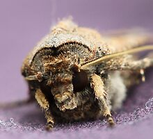 My friend the house moth.. by Jacqui Fae