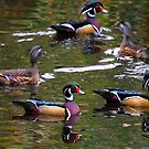Wood Ducks by flyfish70