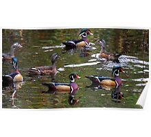 Wood Ducks Poster