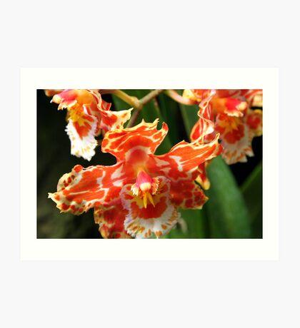 Orange & White Orchid (cambria & odontoglossum hybrid) Art Print